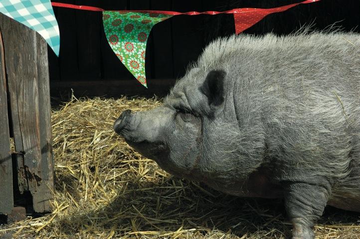 Die freundlichen Hängebauchschweine Kleopatra und Konrad