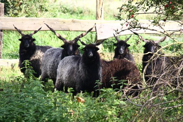 Eine Herde ungarischer Zackelschafe