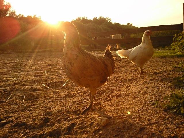 Verrückte Hühner und Hähne