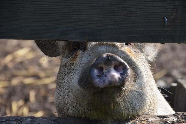 Mit Schweinen lachen
