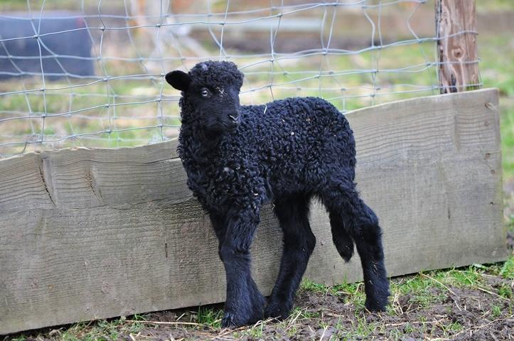 Schafe bewundern